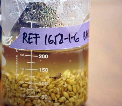 Estudiantes de Stanford elaboran una cerveza china de 5.000 años de antigüedad